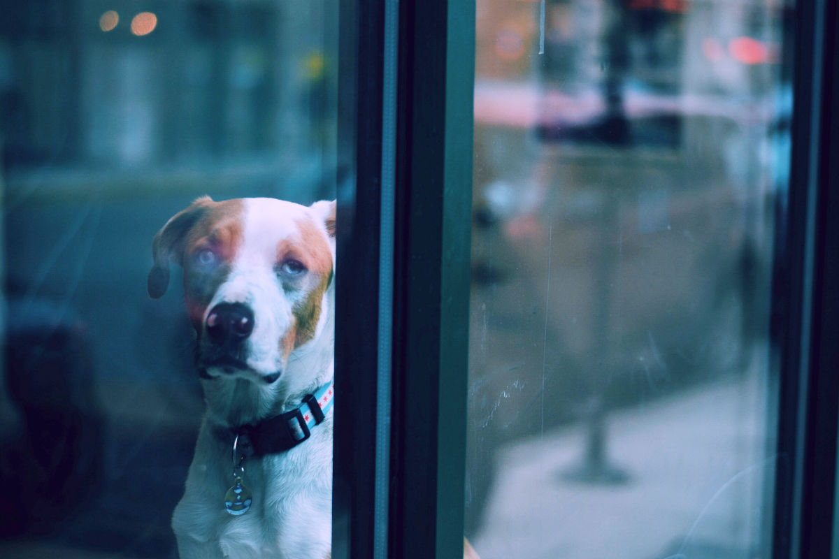 Sad dog at window