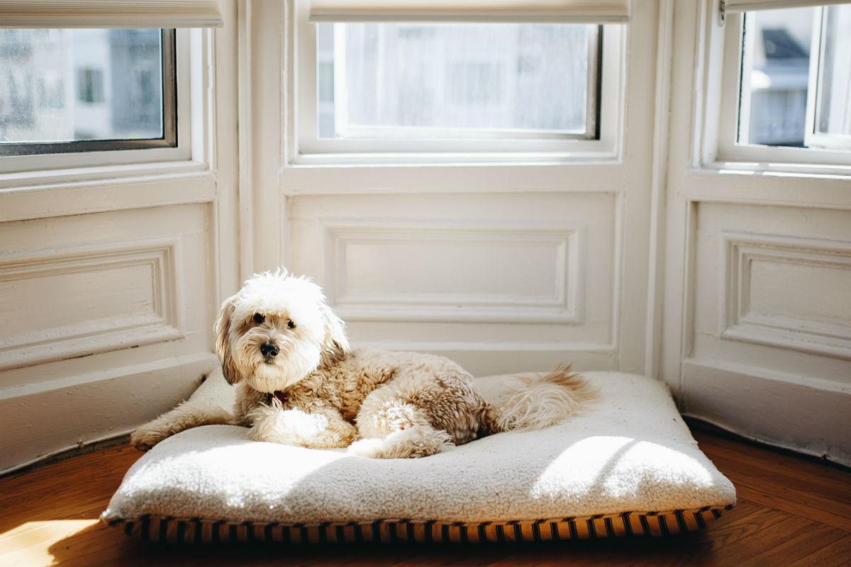 White dog on doggie bed