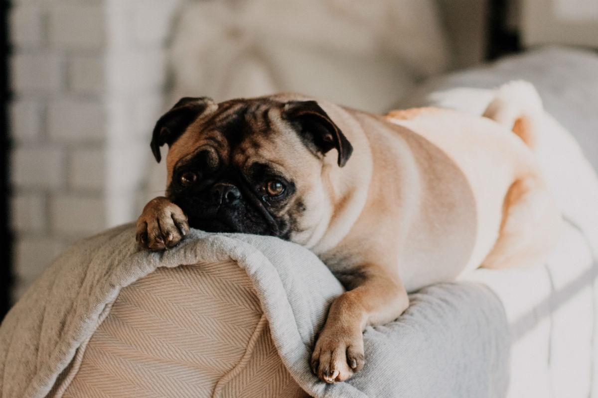 Pug on top of sofa