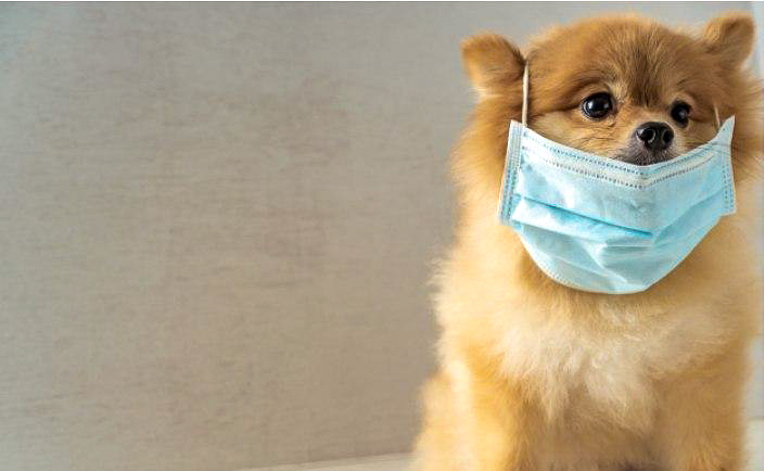 Dog with surgical mask